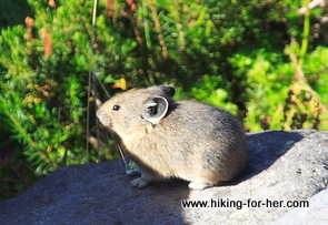 Pika on a rock in a mountain talus field