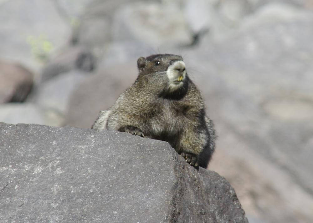 Hoary marmot on a gray slab of andesite