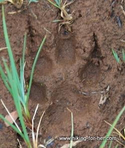 Huge wolf paw print in mud