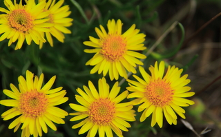 Bright yellow flower petals and deep orange centers on fleabane flowers along a hiking trail