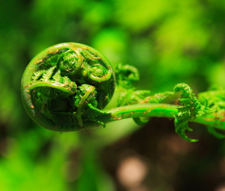 Bright green fiddlehead on springtime  wood fern