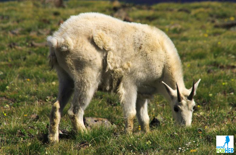Mountain goat shedding its winter coat while grazing on mountain meadow plants
