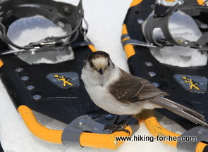 Gray jay perched on yellow snowshoes in the snow