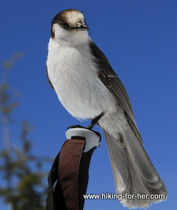 Gray jay perched on a hiking pole handle with bright blue sky in background