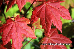 Close up of brilliant red vine maple leaves