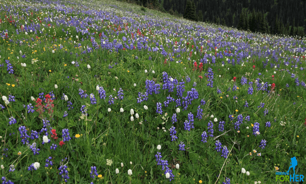 Spectacular wildflower meadow of lupine, bistort and paintbrush at Mount Rainier National Park