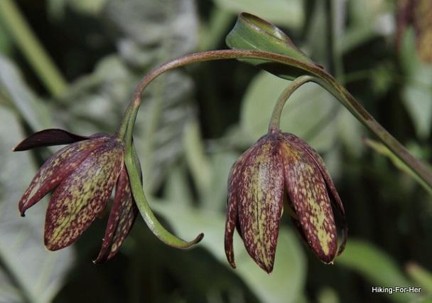 Chocolate lilies on slender stalks