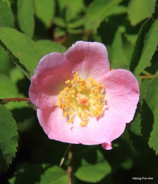 Wild rose blossom