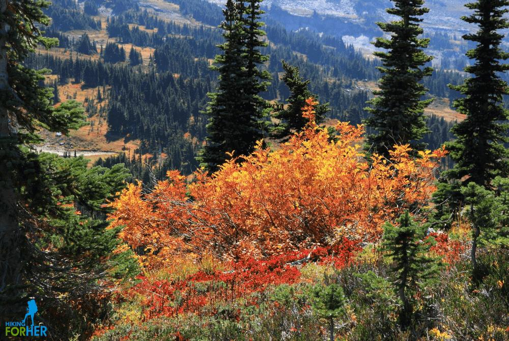 Beautiful orange leaves against dark green firs in an alpine area on Mount Rainier