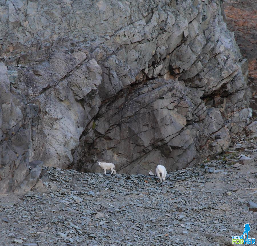 Mountain goats at Mount Rainier National Park in their preferred rocky habitat
