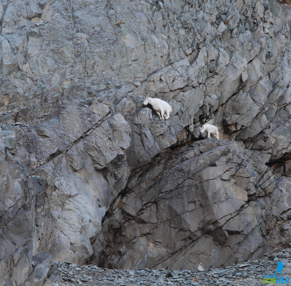 Nanny goat and kid on gray rocks near Spray Park, Mount Rainier