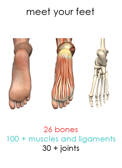 Bones, muscles, ligaments and joints in a human foot