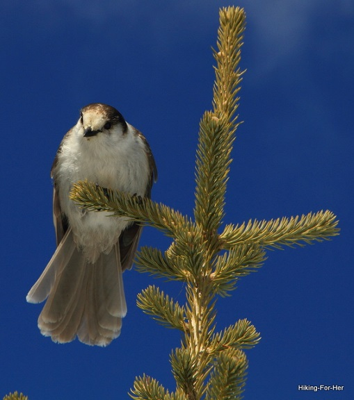 Gray jay, also called camp robber because of its insatiable curiosity about human food, perched at the top of an evergreen tree