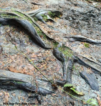 Slippery wet tree roots on a hiking trail present a hazard for an unwary hiker