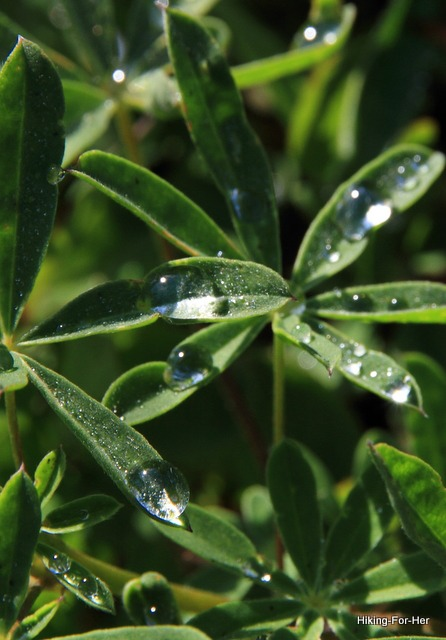 Glistening water drops on lupine leaves