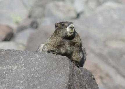 Hoary marmot perched on a block of gray andesite in Mount Rainier National Park