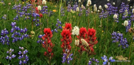 Purple lupine, red paintbrush, and white bistort on a day hike at Mount Rainier National Park
