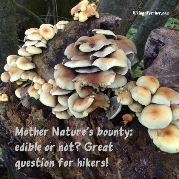Brown clusters of mushrooms growing on a tree stump