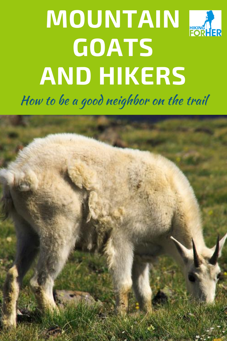 Mountain goats and hikers share the same terrain. Find out how to stay safe and enjoy your encounters with these Hiking For Her safe hiking tips. #mountaingoats #safehiking #hikingsafety #trailtips