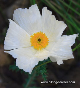 Fragile white wildflower with bright yellow center