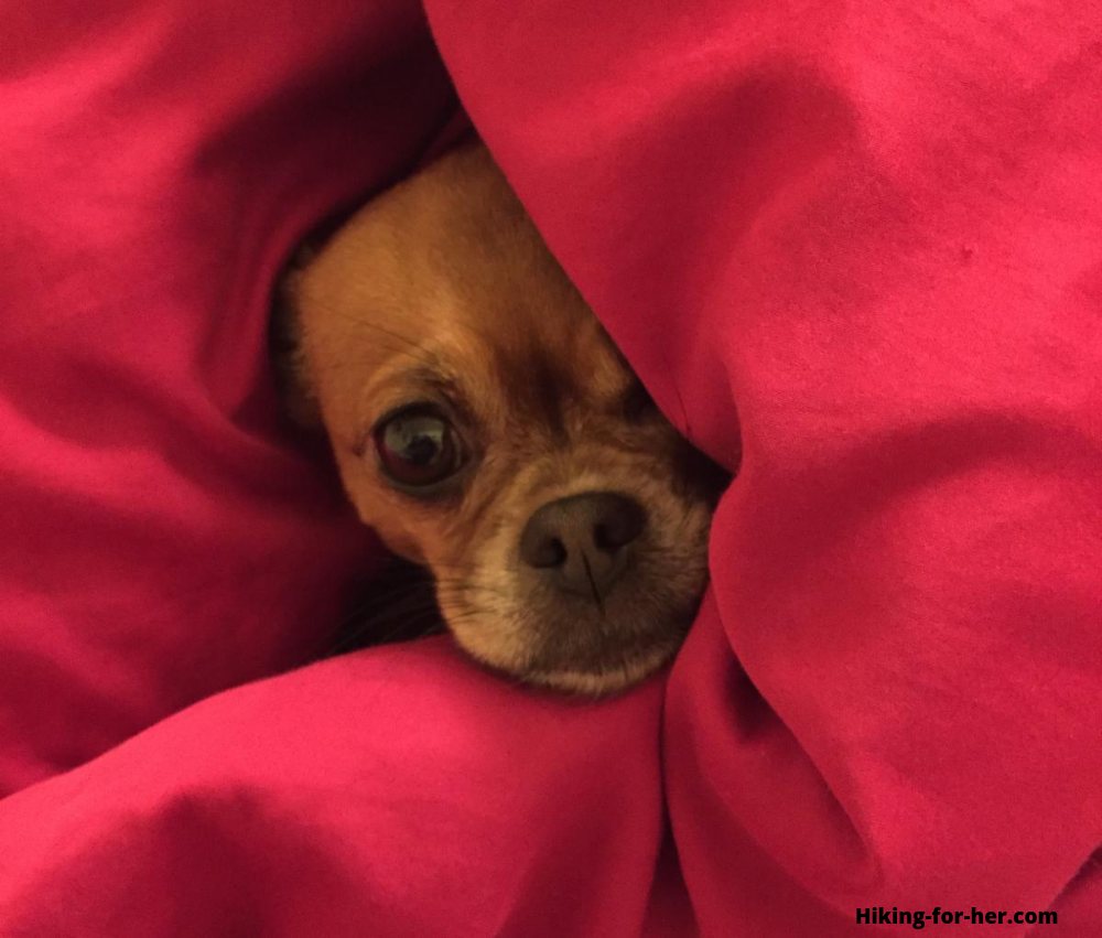 Small brown dog snuggled into pink blanket
