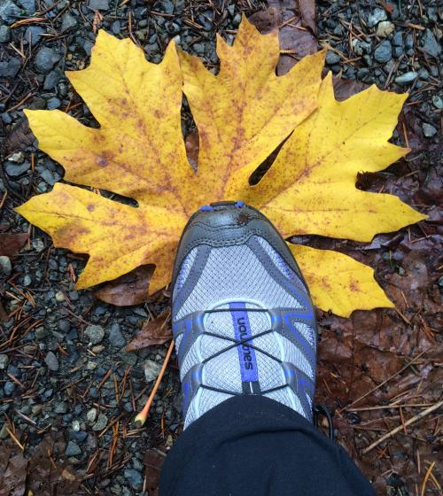 Huge golden yellow big leaf maple leaf being stepped on by a gray and blue hiking shoe