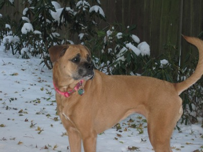 Boxer mix dog in the snow