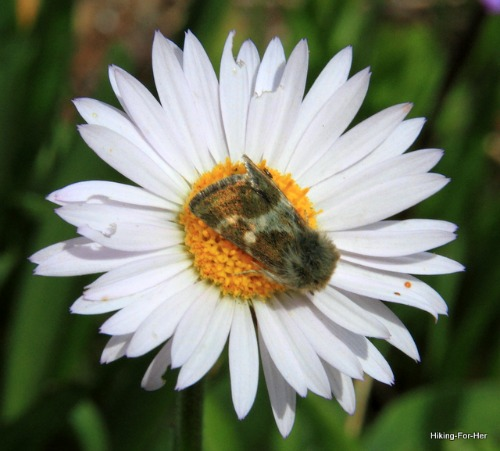 White daisy with pollinator on yellow center