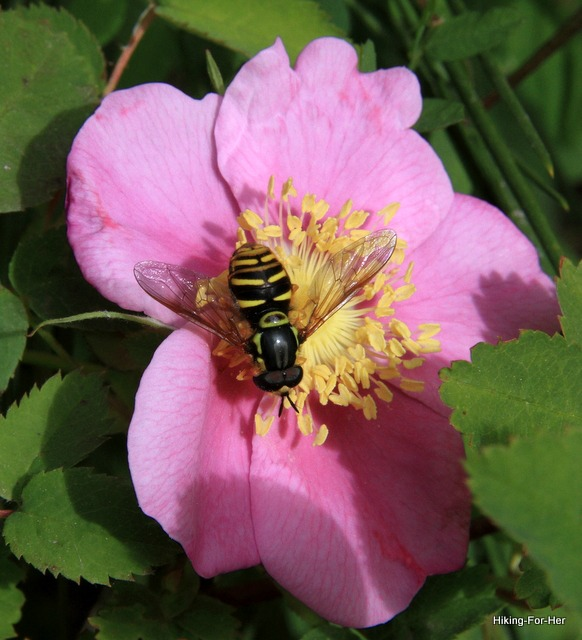Wild pink rose with pollinator