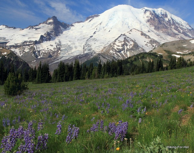 Snow and glacier covered Mount Rainier in the background, with fields of purple lupine in the foreground