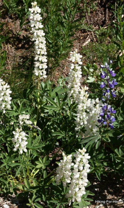Tall white lupine with purple lupine for contrast on a mountain hiking trail