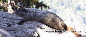 Marmot on a tree limb