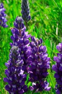 Attractive purple flower heads of alpine lupine
