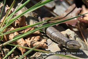 small brown lizard on a rock