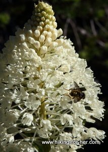 Close up view of bear grass blooming, with a pollinator