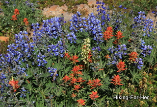 Wild alpine flowers, including lupine and paintbrush