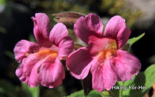 Bright pink monkey flowers along a hiking trail