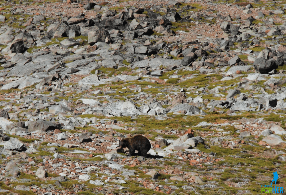 Black bear crossing a rocky plateau in Mount Rainier National Park near Spray Park